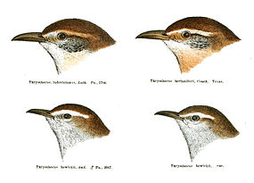 Carolina wren - Wikipedia