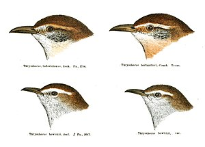 Carolina wren - Sketches of Thryothorus ludovicianus, T.l. lomitensis, and Thryomanes bewickii (Bewick's wren) and one of its subspecies.