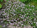 Thymus serpyllum flowering 01.JPG