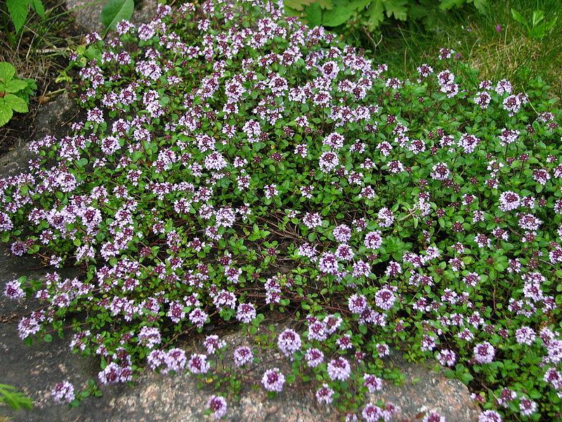 File:Thymus serpyllum flowering 01.JPG