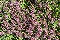 Thymus serpyllum in Chablais (1).jpg