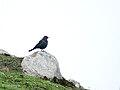 Tibetan Blackbird (Turdus maximus) 2.jpg