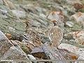 Tibetan Snowcock (Tetraogallus tibetanus) (48701235667).jpg