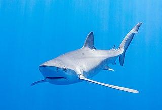 Blue shark Species of shark