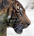 Tiger 4 (4872710140).jpg