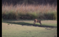Tiger in Ranthambore 30.png