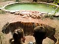 Tigre dans un zoo.jpg