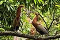 Tigrisoma lineatum -Parque del Este, Caracas, Venezuela-8.jpg