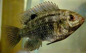 Tilapia (genus) - Banded tilapia, Tilapia sparrmanii