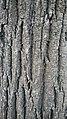 Tilia Argentea bark - 2.jpg