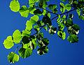 Tilia cordata - leaves 02.jpg