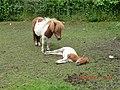 Tiny Pony and foal at Rathbaun - panoramio.jpg