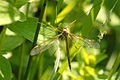 Tipula.flavolineata2.-.lindsey.jpg