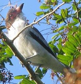 Tityra semifasciata-Yucatán