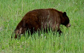 Possible hybrid grizzly bear-black bear in Yukon Territory, Canada To replace picture in 'Ursid hybrid'.jpg