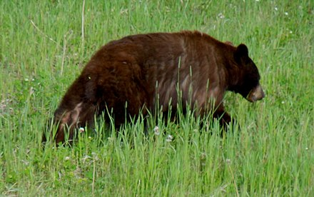 Possible grizzly-black bear hybrid in Yukon Territory, Canada To replace picture in 'Ursid hybrid'.jpg