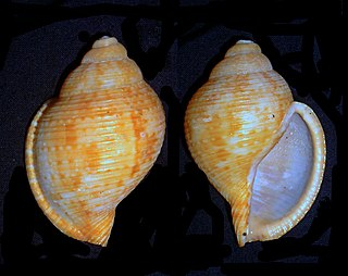 <i>Tonna allium</i> Species of gastropod