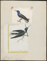 Topaza mellivora - 1700-1880 - Print - Iconographia Zoologica - Special Collections University of Amsterdam - UBA01 IZ19100251.tif