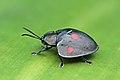 Tortoise beetle (Stolas lebasii) 2.jpg