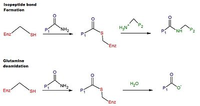reaction mechanism of tTG