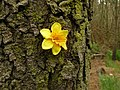 Tree flower on the Speyside way by the Golf Course - geograph.org.uk - 1074384.jpg