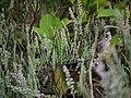 Trichaurus ericoides (6344235487).jpg
