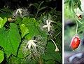 Trichosanthes ovigera compose.jpg