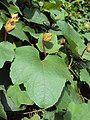 Trichosanthes tricuspidata var. tomentosa 7.JPG