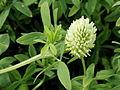 Trifolium pannonicum-IMG 4812.jpg