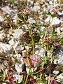 Trifolium resupinatum sl13.jpg