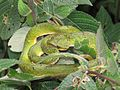 Trimeresurus macrolepis, large-scaled tree viper, large-scaled pitviper at Mannavan Shola, Anamudi Shola National Park, Kerala (11).jpg
