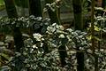 Triphasia trifolia shrub.jpg