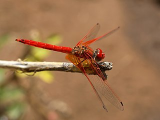 <i>Trithemis kirbyi</i> species of insect