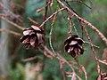 Tsuga heterophylla cones Edmonds.jpg
