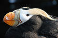 Tufted Puffin (Fratercula cirrhata).jpg