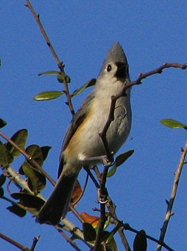Tufted Titmouse.jpg