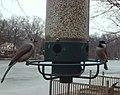 Tufted Titmouse and Chickadee (4284039345).jpg