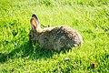 Tukwila, WA - Rabbits near W. Marginal Way and S 102nd Street 05.jpg