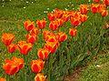 Tulip 00126-27.jpg