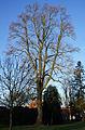 Tulpenbaum Harpstedt im Winter.JPG