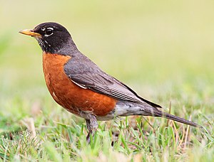 American Robin -- Humber Bay Park (East) (Toro...