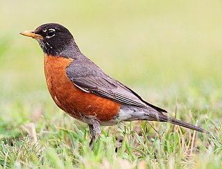 American robin species of bird