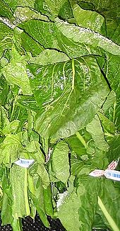 Turnip Greens-1.jpg