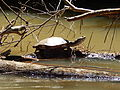 Turtle in Iguazu River.JPG