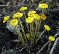 Tussilago farfara whole.png