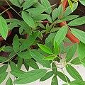 Tuur plant (Pigeon pea) leaves.jpg