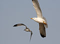 Two Armenian Gulls in flight at Sevan lake, March 2008.jpg
