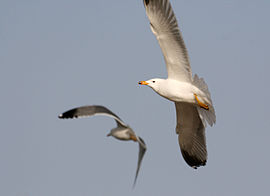 https://upload.wikimedia.org/wikipedia/commons/thumb/b/b8/Two_Armenian_Gulls_in_flight_at_Sevan_lake%2C_March_2008.jpg/270px-Two_Armenian_Gulls_in_flight_at_Sevan_lake%2C_March_2008.jpg