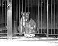 Two caged lions at the Los Angeles Zoo, ca.1920 (CHS-9745).jpg