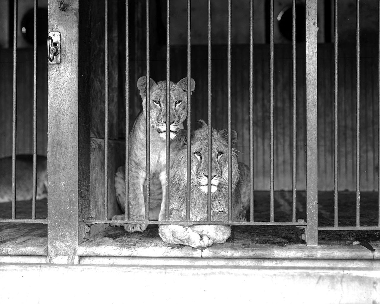 File:Two caged lions a...